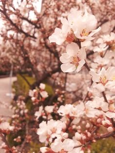벚꽃, Cherry blossoms.