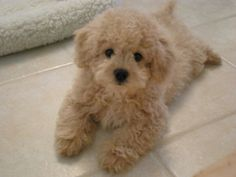 Many humans love getting a Poodle cross breed doggie as they're so cute and fluffy. Take a look at 16 of the cutest and fluffiest Poodle mixes below. Puppies And Kitties, Cute Puppies, Cute Dogs, Doggies, Kittens, Ragdoll Cats, Cavalier King Charles Spaniel, Baby Animals, Cute Animals