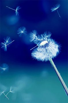 Dandelion Puff - Make a Wish - in Shades of Blue Blue Dream, Love Blue, Nature Iphone Wallpaper, Hd Wallpaper Android, Mobile Wallpaper, Iphone Wallpapers, Dandelion Wish, Dandelion Clock, Dandelion Seeds