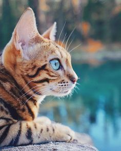 Bengal Cat Personality That You Must Understand As It Owner # bengal cat personality, die sie als besitzer verstehen müssen Bengal Cat Personality That You Must Understand As It Owner # The Animals, Animals Images, Cute Cats And Kittens, Kittens Cutest, Bengal Cat Personality, Grand Chat, Asian Leopard Cat, Adventure Cat, Rare Cats