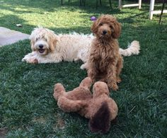 'It wasn't me who killed him, honestly!' - Two Australian Labradoodle Dogs, one Guilty Looking one & their Toy Dog