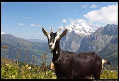 Goat in the Swiss alps/ For unique, hands-on activity ideas for HEIDI by Johanna Spyri, visit  http://www.litwitsworkshops.com/free-resources/heidi/  LitWits Kits make literature real, relevant and fun for kids – so they want to read more!
