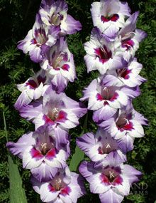 Gladiolus Sale: Purple and White Gladioli Kaleidoscope