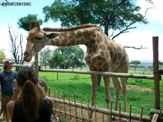 Feed the Giraffe at Lion Park. A nice way to meet the Giraffe. Giraffe, Lion, Meet, Park, Animals, Leo, Felt Giraffe, Animales, Animaux