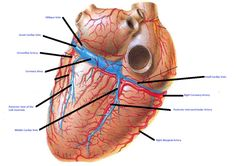 5 major coronary arteries arteries of heart diagram make heart 5 major coronary arteries posterior ccuart Gallery