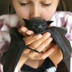 An orphaned flying fox bat being looked after at a Sydney sanctuary. (Photo: Supplied/Landcare Australia)<<<they should name him Bruce Wayne Animals And Pets, Baby Animals, Funny Animals, Cute Animals, Cute Creatures, Beautiful Creatures, Animals Beautiful, Murcielago Animal, Gato Animal