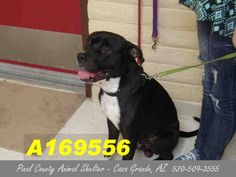 ***CODE RED - NEEDS A COMMITMENT HOLD BY 5:30 AM PDT SATURDAY, JULY 11, 2015*** THIS IS JAKE, A 2 YEAR OLD BLACK AND WHITE PIT MALE BULL MIX WHO NEEDS A FOSTER/ADOPTER/RESCUE ASAP!!! Can you give this lovely dog a home?