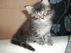 maine coons | Maine Coon Kater