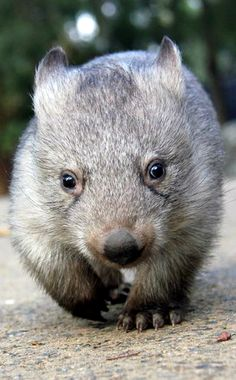 ~~Wombat | short-legged, muscular quadrupedal marsupials that are native to Australia and are approximately 1 metre in length, with short, stubby tails | Taronga Zoo~~