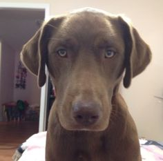 Godiva in MAINE is an adoptable Chocolate Labrador Retriever Dog in South Portland, ME. Godiva is a gorgeous 2 year old 50lbs Chocolate Lab mix. She shows the loving, family oriented, gentle lab tempe...