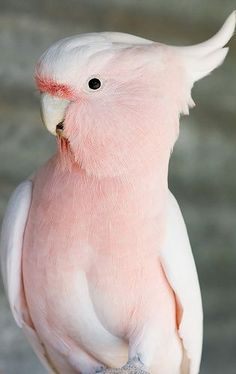 The Galah (aka the rose-breasted cockatoo) is one of the beautiful native birds of Australia Kinds Of Birds, All Birds, Cute Birds, Pretty Birds, Beautiful Birds, Animals Beautiful, Cute Animals, Eagle Animals, Pink Animals