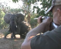 The trophy hunting company involved in the killing of this elephant (where this elephant was shot ELEVEN times by an American hunter) are one of the companies that were named to have been killing elephants in Hwange National Park in Zimbabwe, despite the provision in the National Parks Act that prohibits commercial hunting.    Read how corrupt it all is:  https://www.facebook.com/notes/oscar-nkala/zimbabwe-hunting-leaksthe-who-is-who-of-poaching/2561664802602