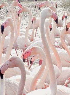 pretty pale pink flamingos