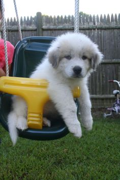 my Great Pyrenees puppy trying out the swing Pyrenees Puppies, Great Pyrenees Puppy, Gentle Giant Dogs, Cute Puppies, Dogs And Puppies, Dog Pads, White Dogs, Shelter Dogs, Beautiful Dogs