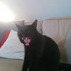 Black panther #cat #roaroryawn
