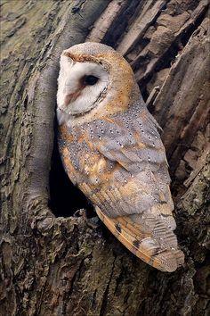 Barn Owl --beautiful coloring
