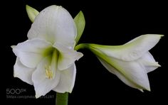 white lilly by L8Xpress