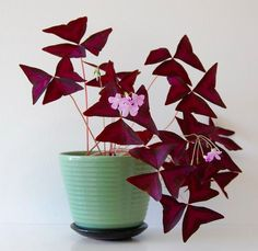 Oxalis triangularis (Purple Shamrock) One of the easiest plants I have ever grown! Fall Plants, Potted Plants, Garden Plants, Indoor Plants, House Plants Decor, Foliage Plants, Indoor Gardening, Shamrock Plant, Purple Shamrock