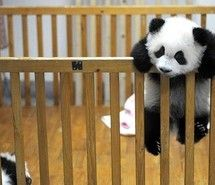 Inspiring image baby animal, baby panda, cute, panda, photography #433643 - Resolution 500x375px - Find the image to your taste