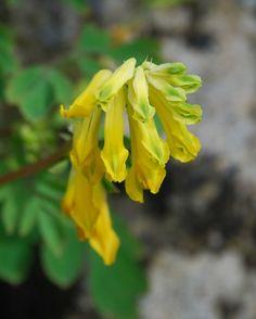 Yellow Corydalis growing in limestone cracks