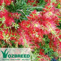 Callistemon 'Slim' grows naturally tall and thin making a perfect bottlebrush hedge. Red flowers #native #australian