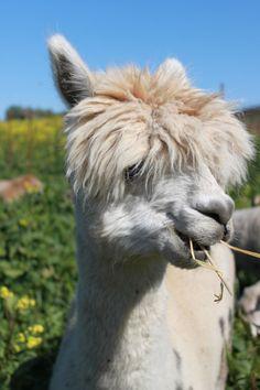 Cute alpaca at Tablas Creek Vineyard, Paso Robles.