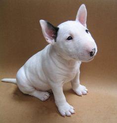 Baby bull terrier!