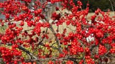 Winterberry (Ilex verticillata). Who can resist the display of fruit on Winterberry hollies?