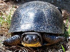 """Blanding's turtle, (Emydoidea blandingii)- is a semi-aquatic turtle of the family Emydidae. It is considered to be an endangered species throughout much of its range.  It is a medium-sized turtle with an average shell length of approximately 7.1 to 9.1"""" with a maximum of 10"""". A distinguishing feature of this turtle is the bright yellow chin & throat. The carapace, or upper shell, is domed, but slightly flattened along the midline, & is oblong when viewed from above."""