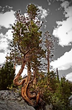 ✮ Twisted Pines - twisted trees, odd things in nature #outdoor_photography