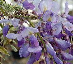 This will become a container specimen for me; Judicious pruning will be necessary.  Wisteria frutescens Amethyst Falls - White Flower Farm