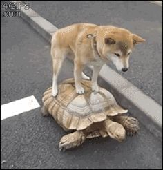 """Homies that ride together, die together. View Animals Riding Tortoises Like Majestic Stallions"""" and more funny posts on CollegeHumor Animals And Pets, Funny Animals, Cute Animals, Funny Animal Gifs, Animal Funnies, Funny Dogs, Cute Dogs, Animal Pictures, Funny Pictures"""