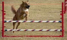 A Beginners Guide to Dog Agility