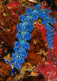 Blue Dragon nudibranch seen in Australia and Hawaii