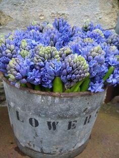 blue hyacinths in vintage metal bucket