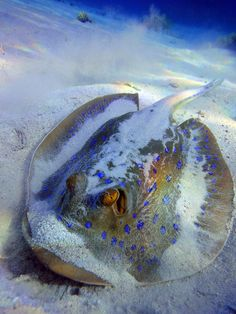 The bluespotted stingray (Dasyatis kuhlii) or Kuhl's stingray, found in the Red Sea by horen.dahab