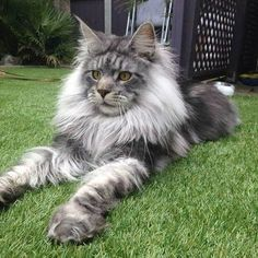 How adorable is this Norwegian Forest Cat? How adorable is this Norwegian Forest Cat? Silly Cats, Crazy Cats, Cute Cats, Funny Cats, Funny Animals, Cute Animals, Adorable Dogs, Chat Maine Coon, Maine Coon Kittens