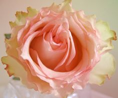 https://flic.kr/p/7EgrL4 | Pink rose with pale green accent