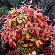 'Fire Power' Nandina Mature, a small evergreen bush that lights up a garden...