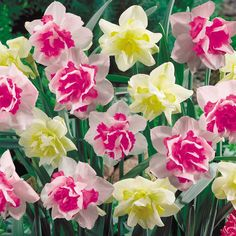These snow white double Narcissus bloom in late spring on sturdy stems of about 10-15″ ; they have frilly pink and yellow centres for an added color burst. Description from millionplants.com. I searched for this on bing.com/images