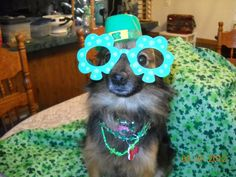 Sugar want's to wish everyone a Happy ST.Paddy Day ♥......poor Sugar!!