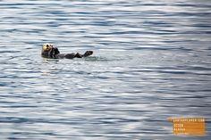 Cute Otter Floating Along - Alaska