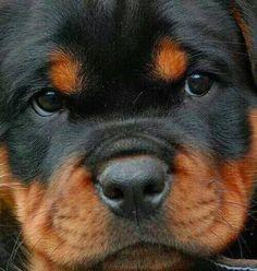 what a Rottweiler face