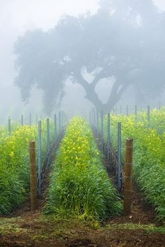 Vines in the mist on DAOU Mountain.