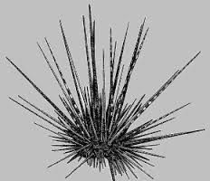 Image result for sea urchin tattoo
