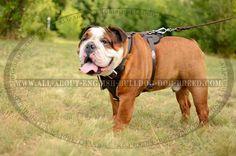Fashion #Leather #Harness Manufactured for #English #Bulldog #Breed $54.90   www.all-about-english-bulldog-dog-breed.com