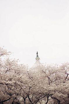 Comprehensive guide to the Washington, DC cherry blossoms: Explore the festival with these seven helpful tips and cherry blossom locations—from peak bloom time to best photo spots to even cherry blossom snacks! Washington Dc Travel Guide, Washington Things To Do, Cherry Blossom Dc, Cherry Blossom Season, Dc Photography, Jefferson Memorial, Virginia, Travel Pictures, Travel Usa