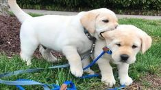 Labrador Puppy Training, Dog Training, Lab Puppies, Cute Puppies, Dog Classes, Puppy Images, Easiest Dogs To Train, Cute Animal Videos, Family Dogs