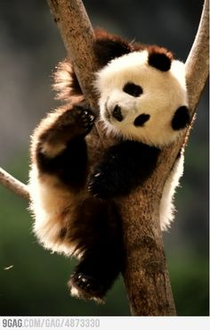 This Panda totally is about to lick his foot. Pandas are the best. Cute Creatures, Beautiful Creatures, Animals Beautiful, Cute Baby Animals, Animals And Pets, Funny Animals, Baby Pandas, Red Pandas, Giant Pandas