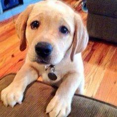 #collarbuddies #Labrador_pictures #labrador #mylabrador #ilovemylabs #ilovemylabrador #labs #labrdorretriever #labradorretrievers #labradorsoftheday #labradores #labradoroftheday #labradorlife #labsoftheday #labradorofinstagram #labradors #labradorablelove #labradora #labradorable #labradorlove #Labradorlover #labradors4life #labradorretriever #labradorelove #retrieverstagram #Labradors_ #labradorsarebest #labradorchocolate #labradorloverz  #hunter